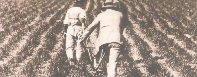 La sarchiatura del frumento